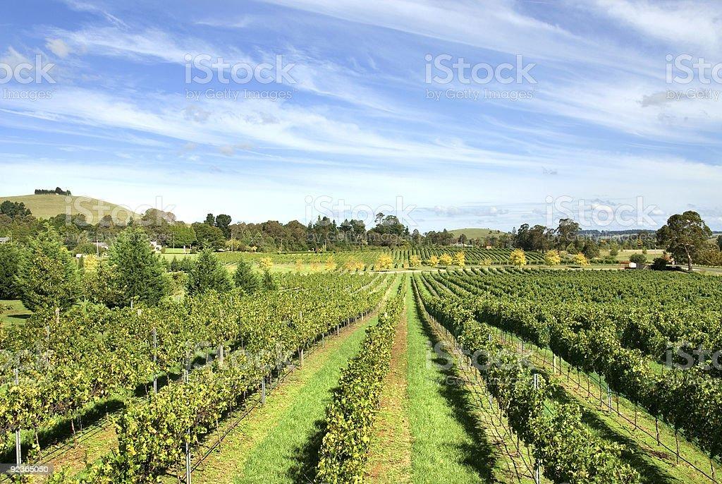 Vineyard Scene royalty-free stock photo