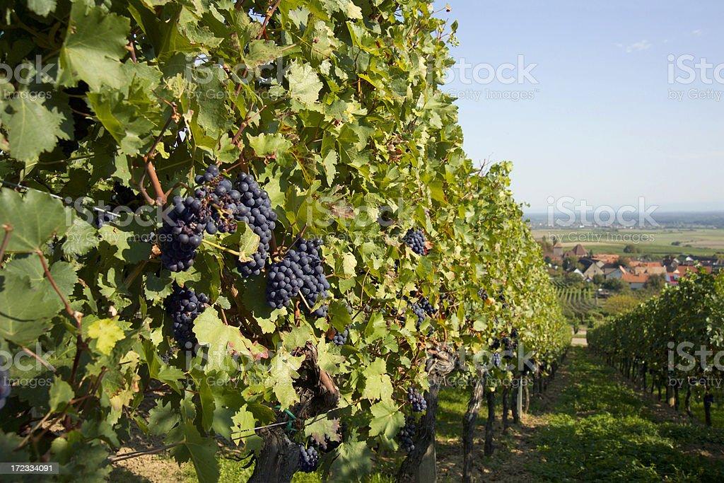 Vineyard Schweigen-Rechtenbach stock photo