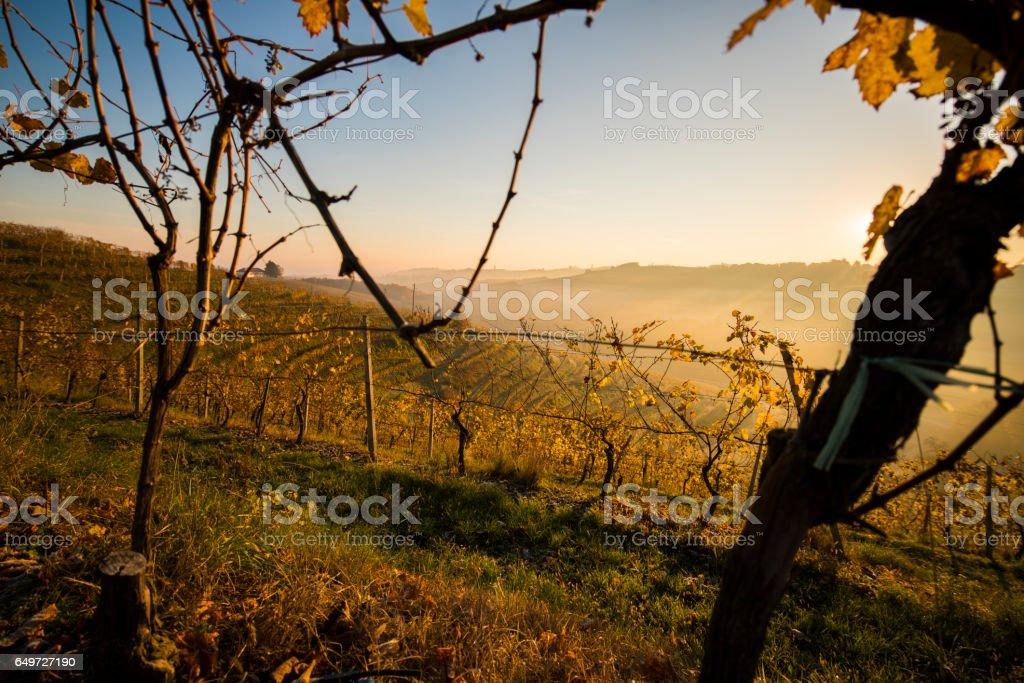 vineyard seen through fence during sunset stock photo