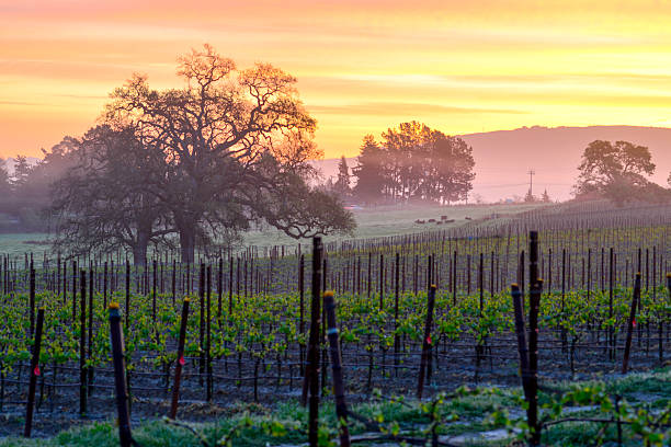 Vineyard Sunrise An orange sky highlights the spring growth of a Napa Valley vineyard. sonoma stock pictures, royalty-free photos & images
