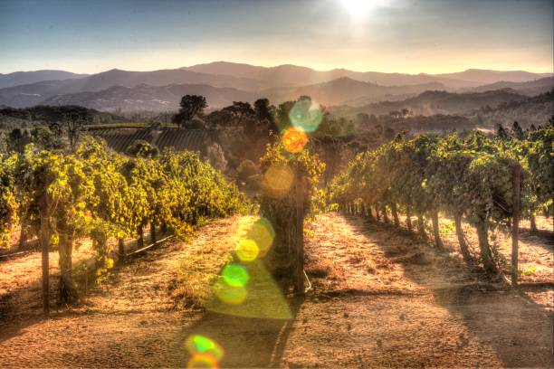 Vineyard Sunrise Sunrise overlooking a vineyard in Lake County, a tranquil, scenic Northern California wine district. 4K resolution. sonoma county stock pictures, royalty-free photos & images