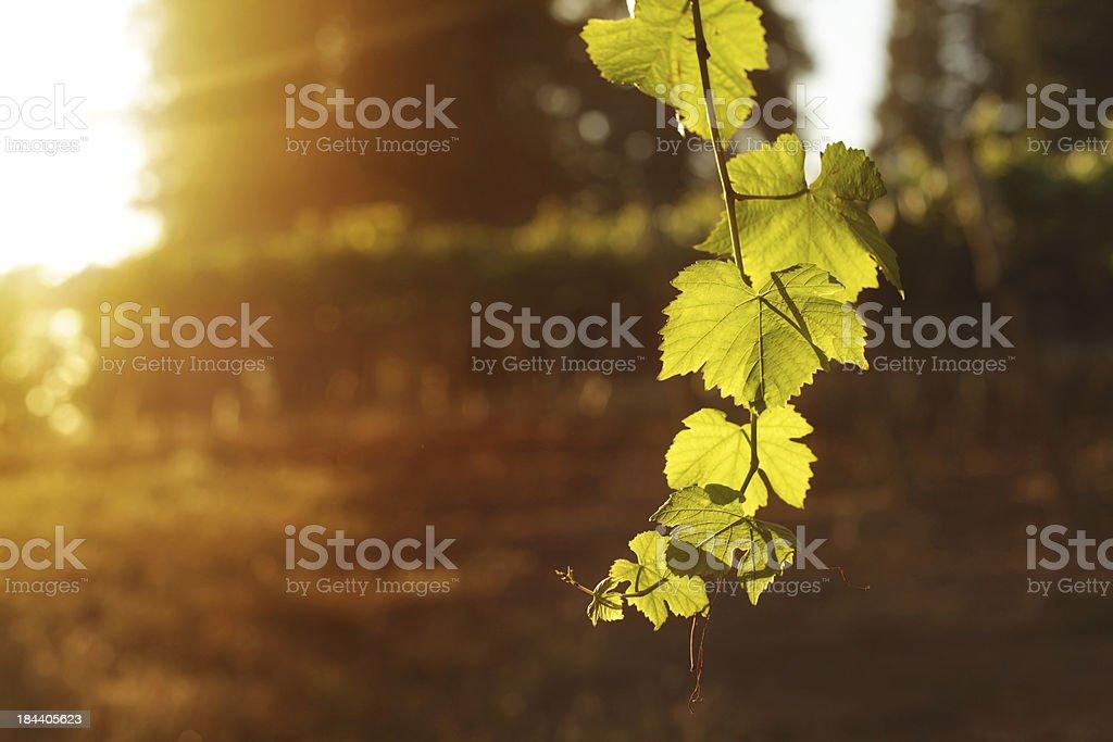 Vineyard Sunset stock photo