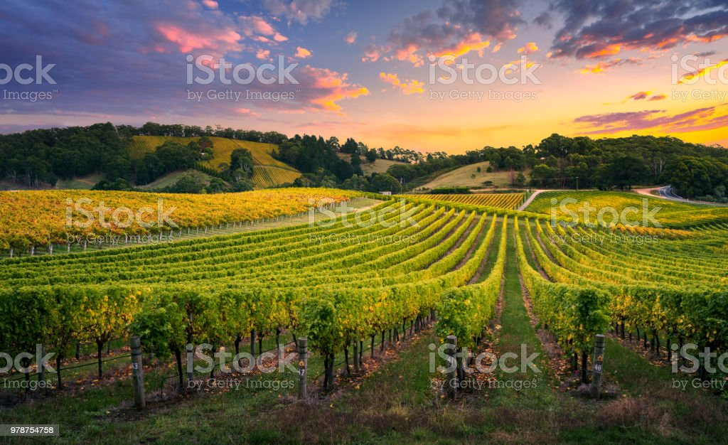 Vineyard Sunset Beautiful Vineyard in the Adelaide Hills Agriculture Stock Photo