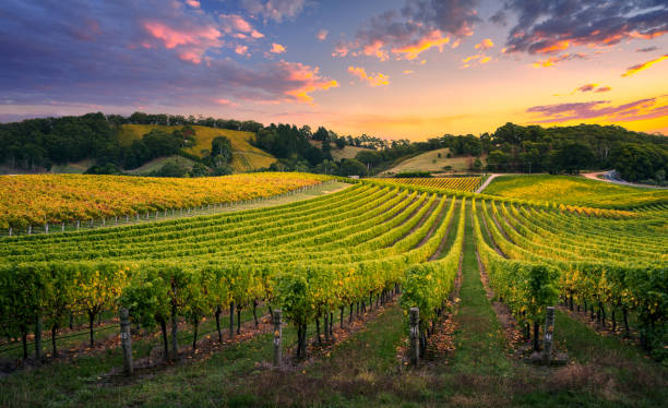 vineyard sunset - rural scene stock pictures, royalty-free photos & images