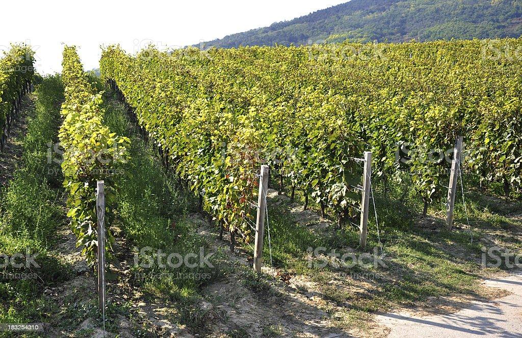 Vineyard, Tokaj, Hungary stock photo