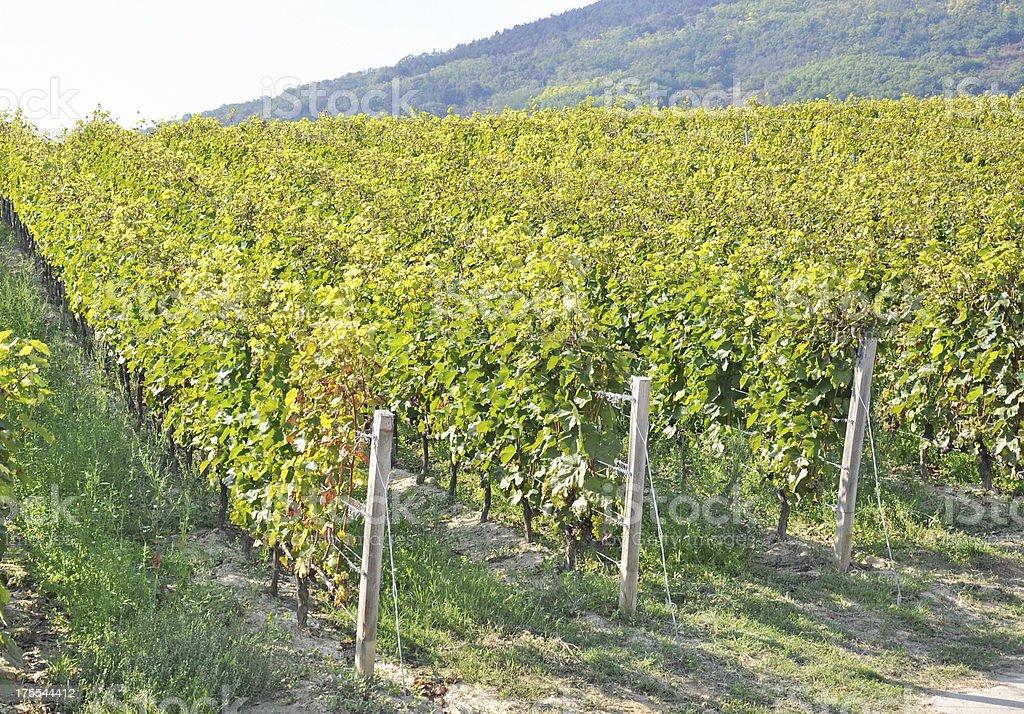 vineyard, Tokaj stock photo