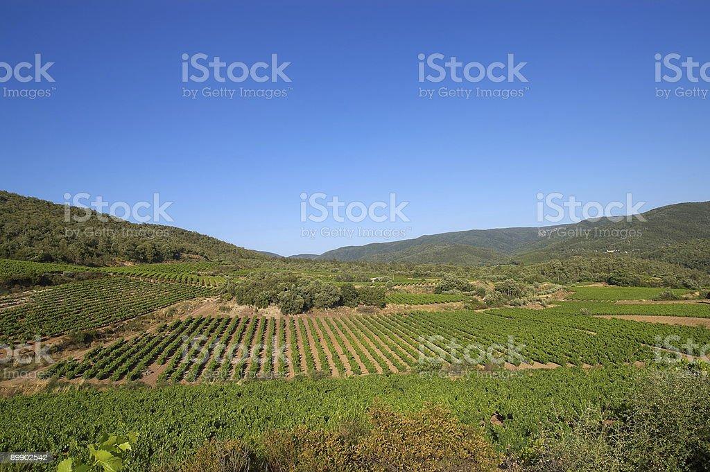 Vineyard under blue sky royalty-free stock photo