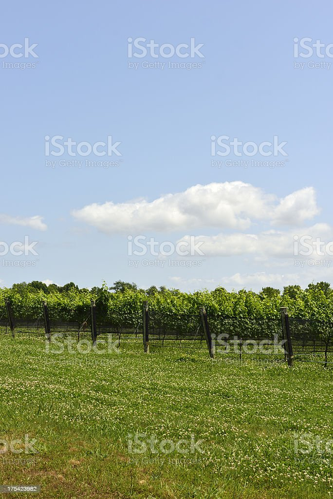 Vineyard Vertical on Bright Sunny Summer Day royalty-free stock photo