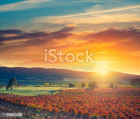 Vineyard vines sunset in Spain at Mediterranean in autumn fall red leaves