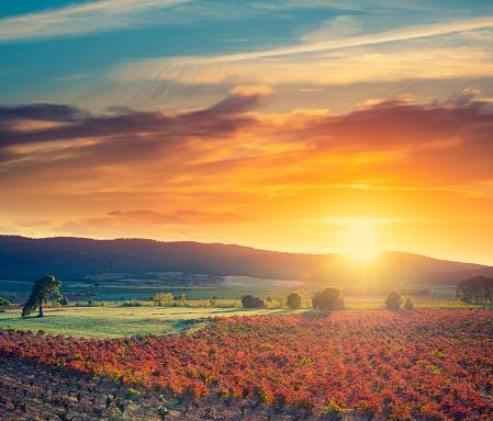 Vineyard vines sunset in Spain at Mediterranean in autumn fall red leaves