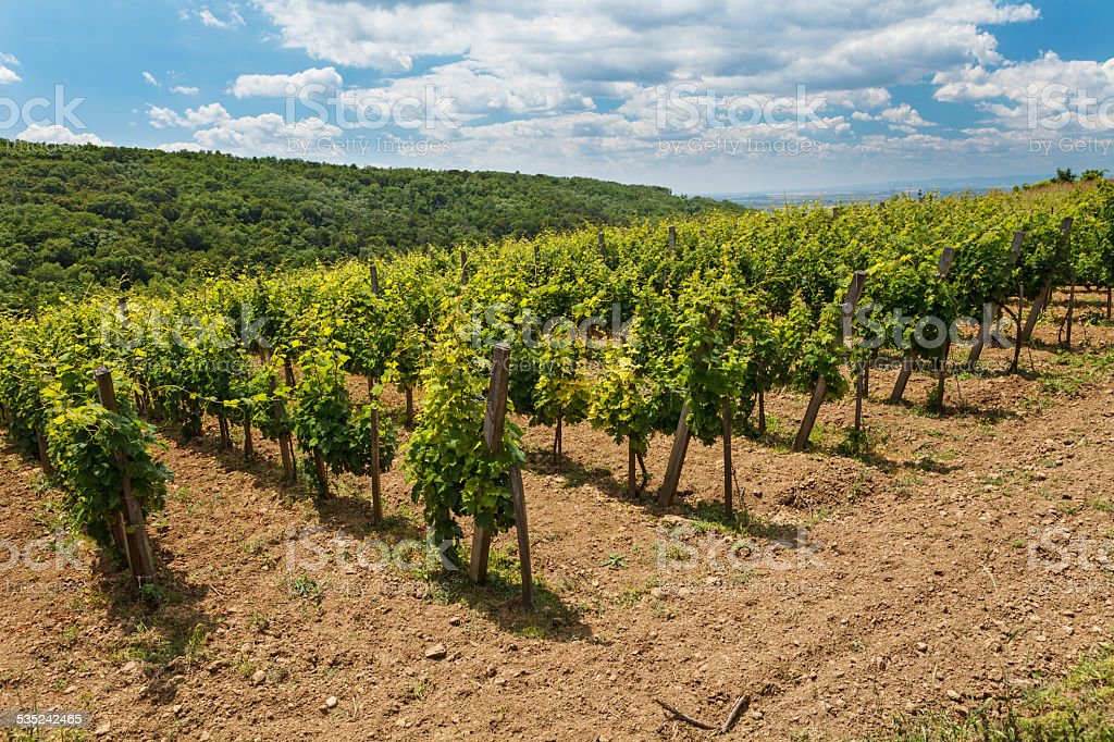 Vineyard - viticulture in Tokaj royalty-free stock photo