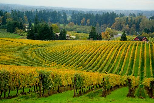Willamette Valley vineyard, OR