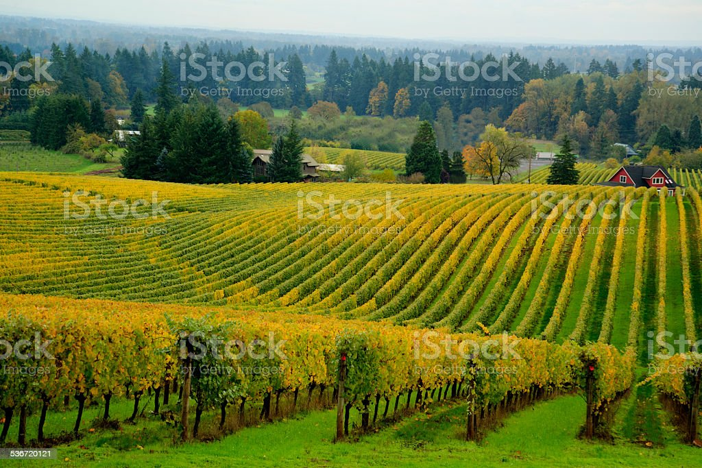 Vineyard, Willamette Valley, OR stock photo