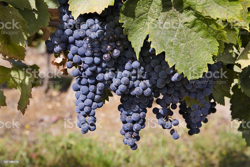 Vineyard, wine grapes hanging. royalty-free stock photo