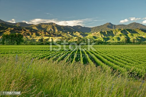 Vineyard, winery New Zealand, typical Marlborough landscape with vineyards and roads, hills and mountains.