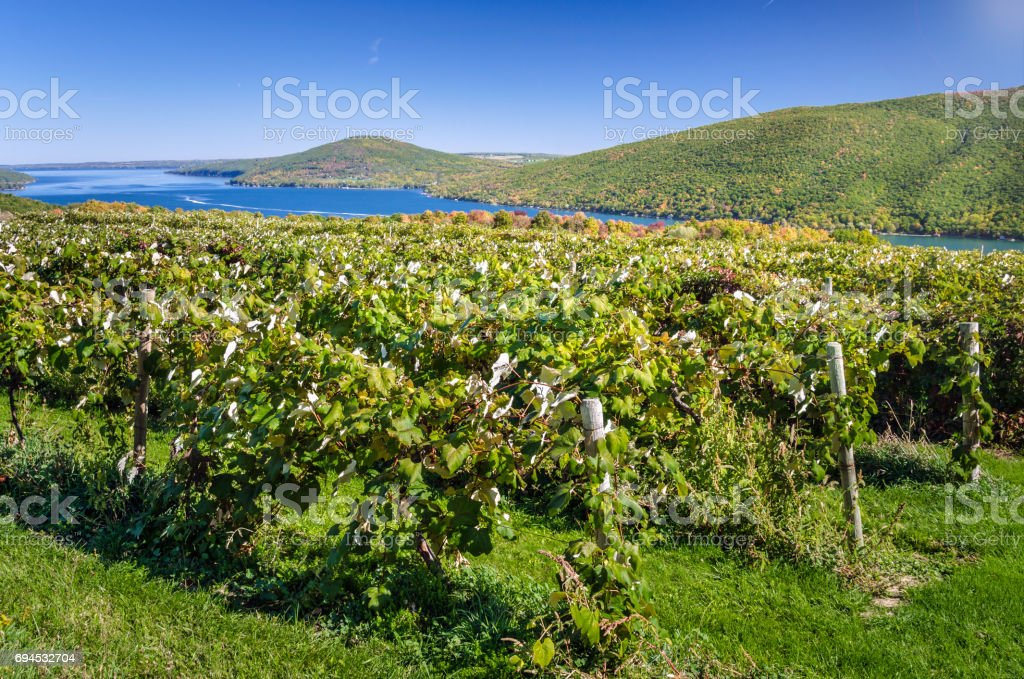 Vineyard with a Lake in Background and Blue Sky stock photo