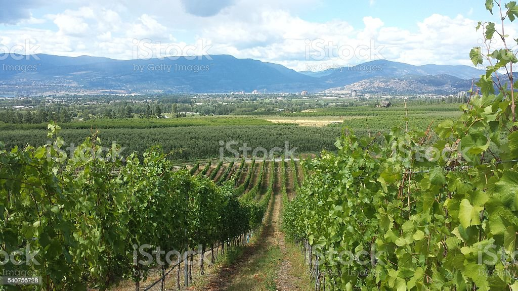 Vineyard with a View stock photo