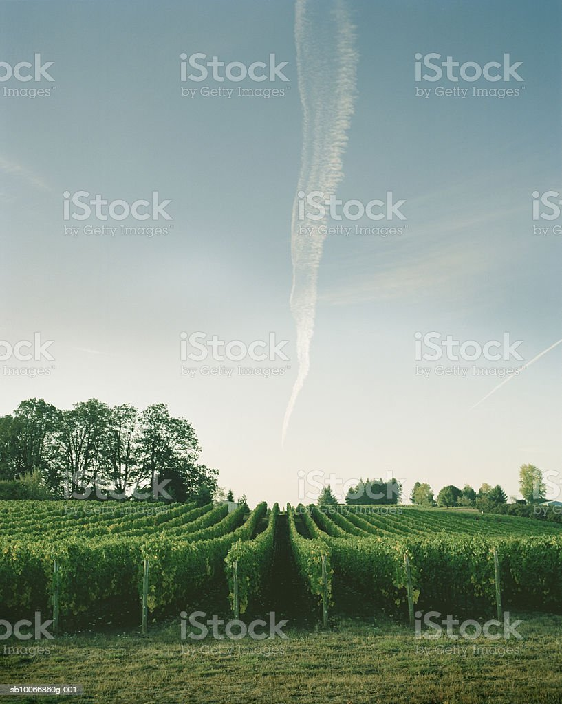 Vineyard with airplane trail in sky royalty-free stock photo