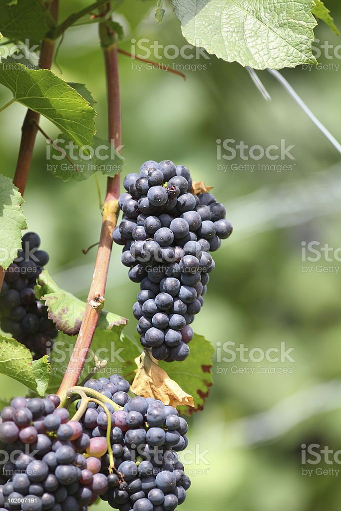 vineyard with bule ripe grapes in sun royalty-free stock photo