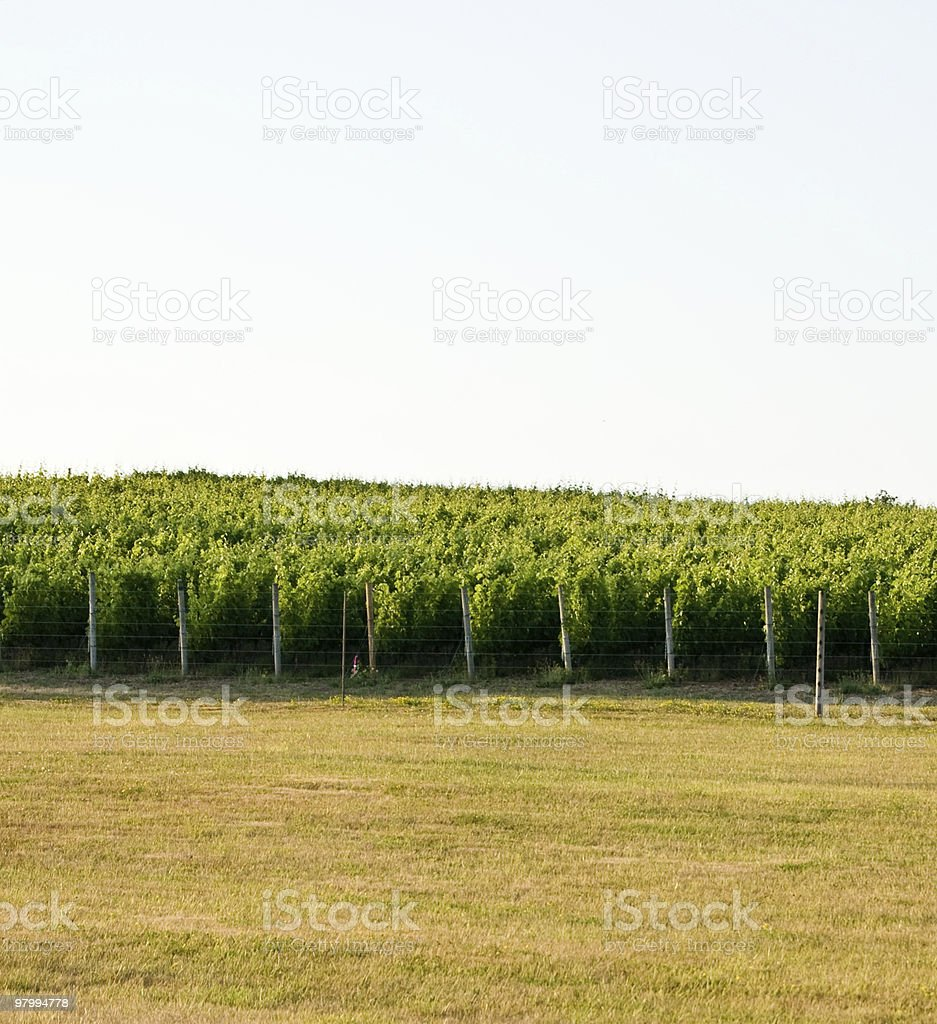 Vineyard with Copy Space royalty free stockfoto