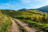 Vineyard with dirt road in autumn at blue sky
