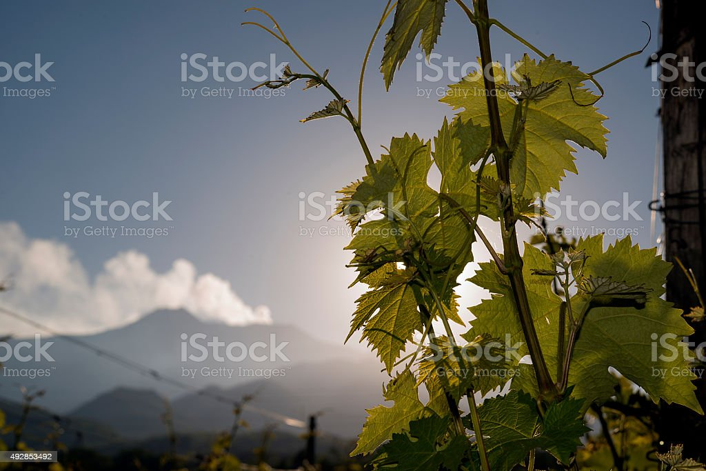 vineyard with Etna volcano in the background. stock photo