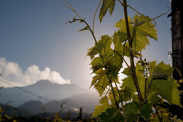 vineyard mit Vulkan Ätna im Hintergrund. – Foto
