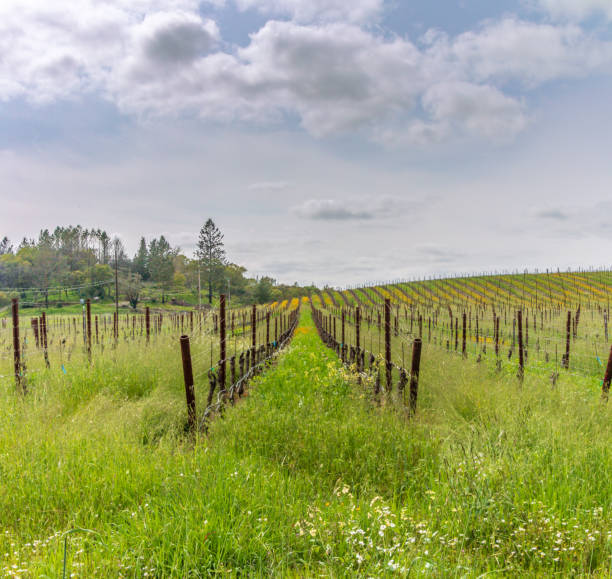 Vineyard with grass and flowers stock photo