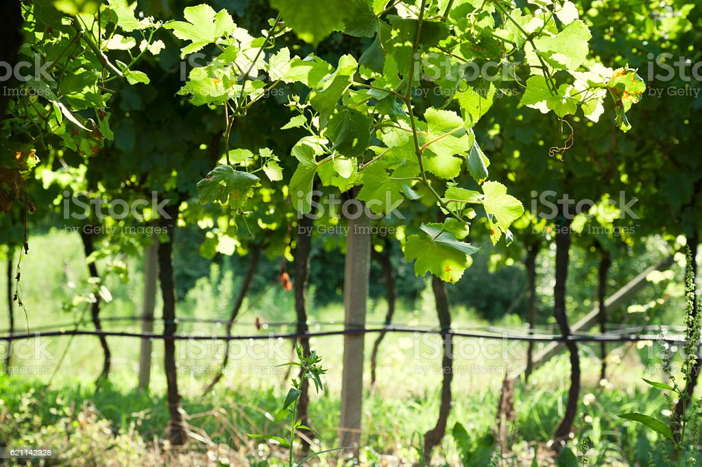 Vineyard with green and sunny leaves stock photo