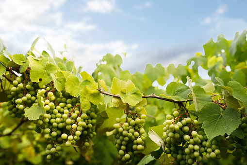 Vineyard with green grapes