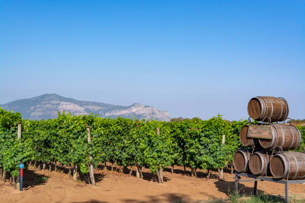 Vineyard with growing red wine grapes in Lazio, Italy Vineyard with growing red or rose wine grapes in Lazio, Italy, Sirah, Petit Verdot, Cabernet Sauvignon grapes lazio stock pictures, royalty-free photos & images