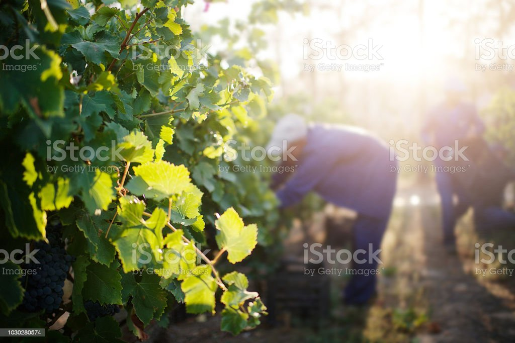 Vineyard with Harvesters picking Fresh Ripe Red Grapes in the vineyard out of focus at sunset - fotografia de stock