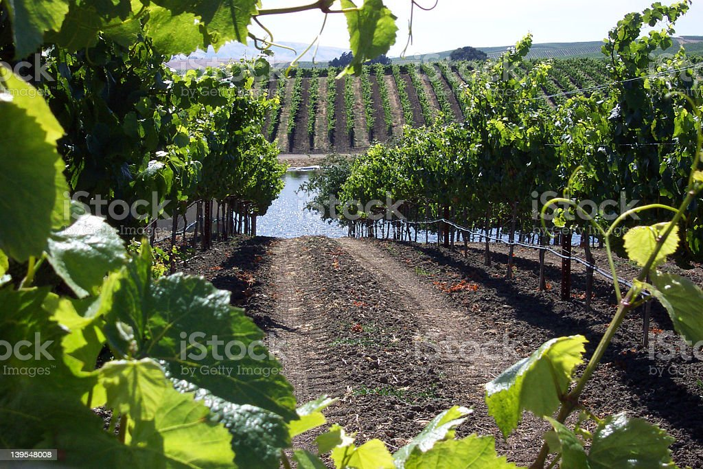 Vineyard with lake royalty-free stock photo