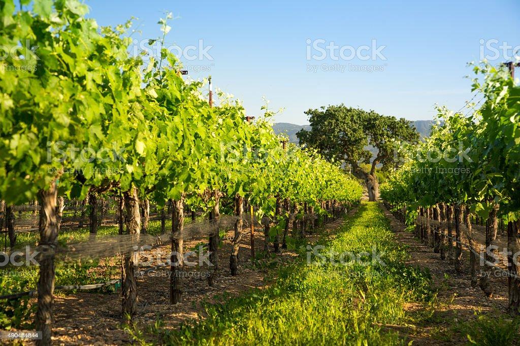 Vineyard With Majestic Oak In Distance, Santa Ynez, CA stock photo