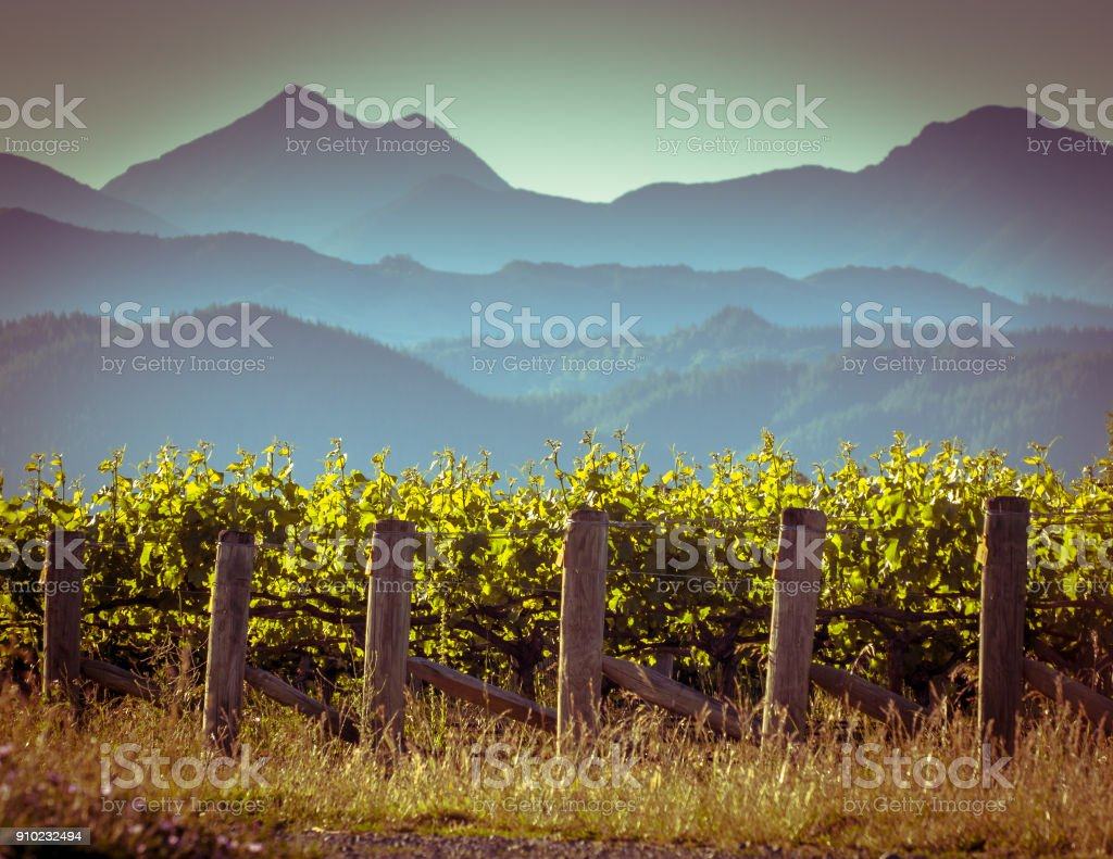 Vineyard with misty mountain background stock photo