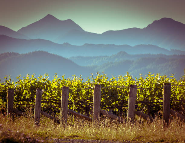 Vineyard with misty mountain background View of vineyard with misty mountains background at sunset in Marlborough region New Zealand lenticular cloud stock pictures, royalty-free photos & images