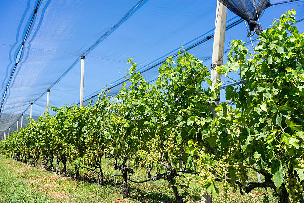 Vineyard With Modern System For Irrigation And Nets Against