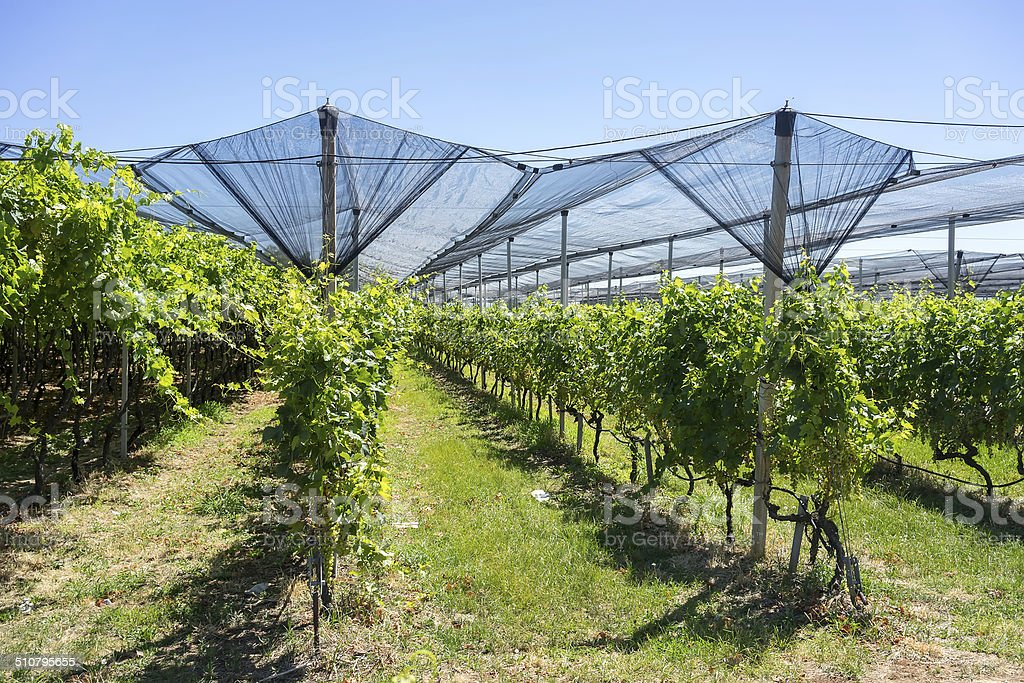 Vineyard with modern system for irrigation and nets against hail stock photo