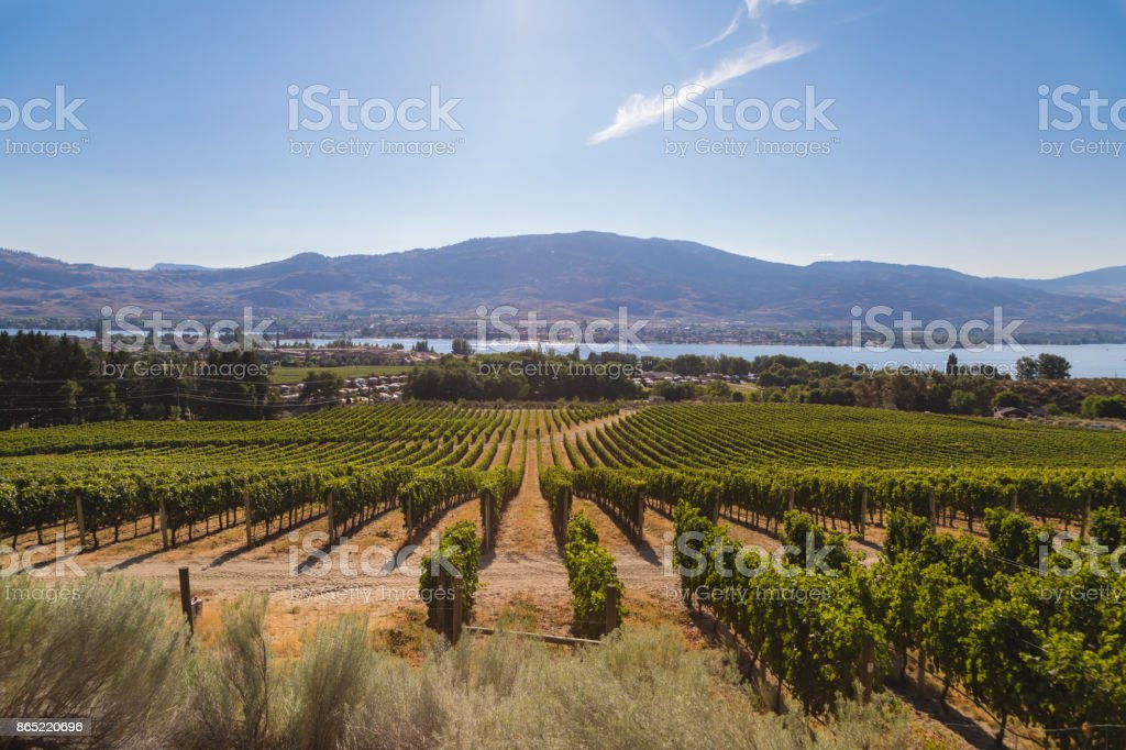 Vineyard with mountains and Okanagan Lake on the background in British Columbia, Canada stock photo