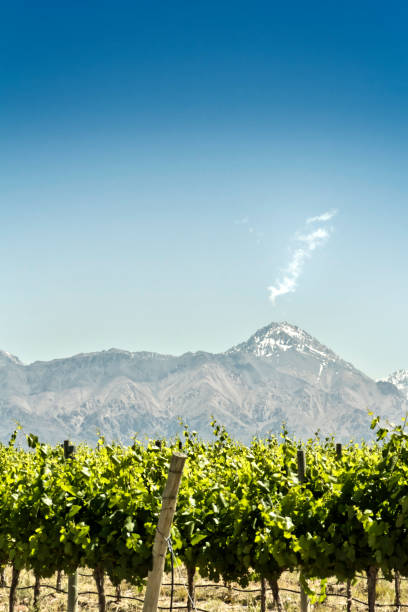 Vineyard with mountains background stock photo