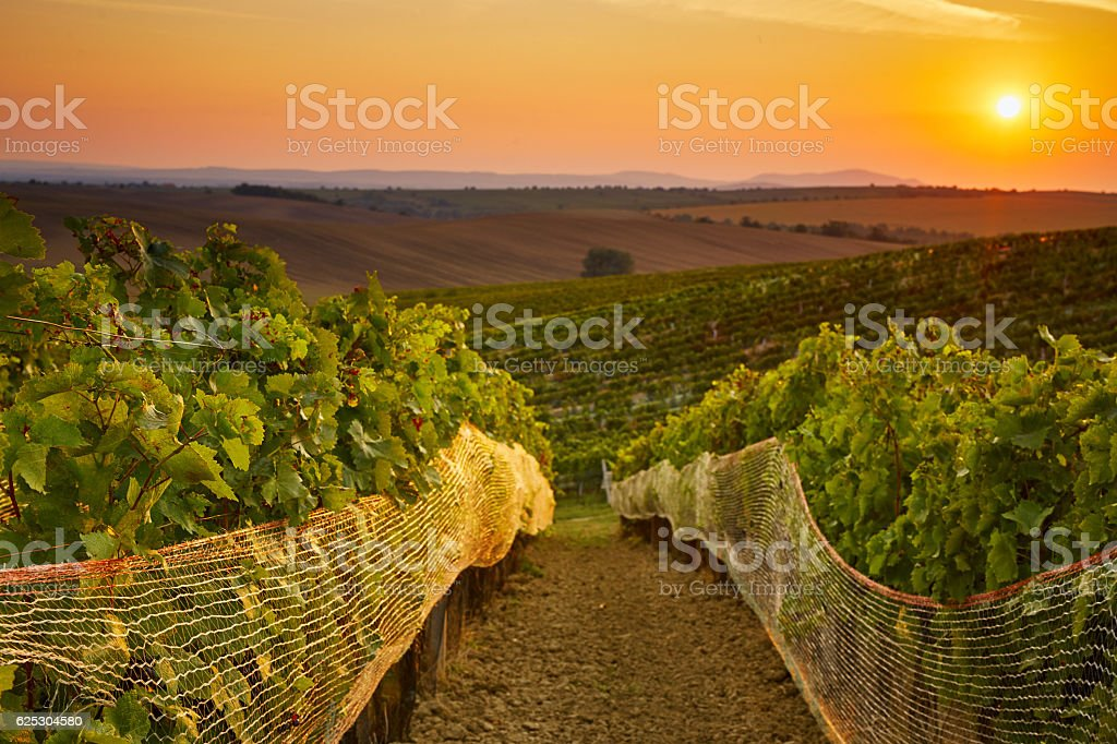 Vineyard with protective nets stock photo