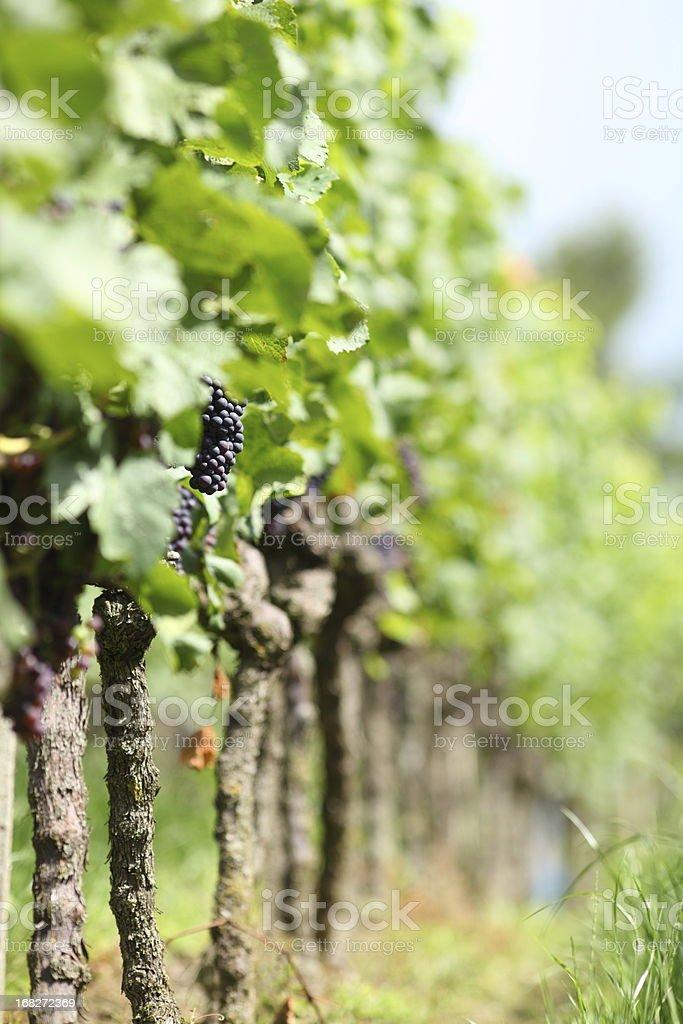 vineyard mit Rote Reife Trauben – Foto