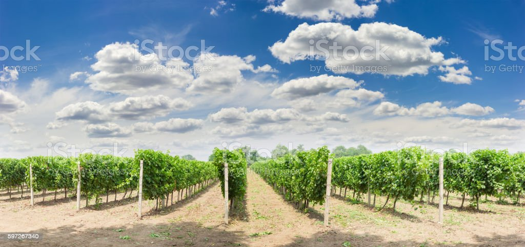 Vineyard with ripening grapes against of the sky with clouds Lizenzfreies stock-foto