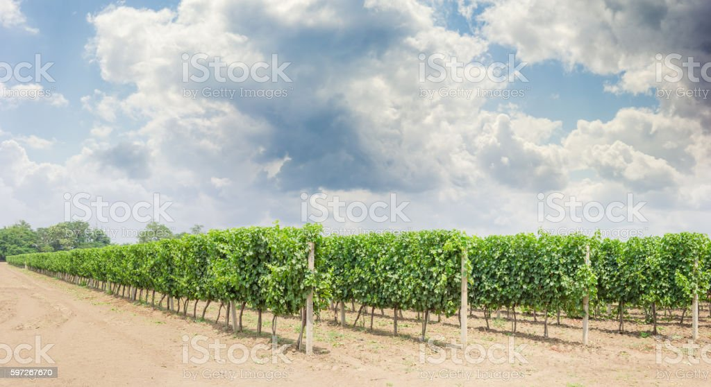 Vineyard with ripening grapes against of the sky with clouds royalty-free stock photo