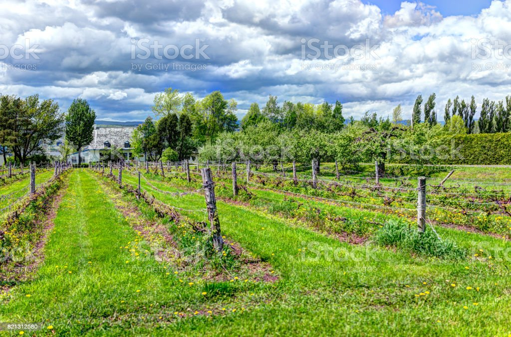 Vineyard with rows of grape plants, yellow dandelions and blue house in countryside stock photo