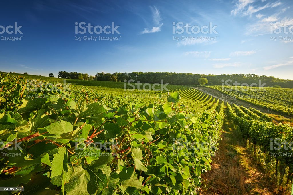 Vineyard with rows of grapes and vines stock photo