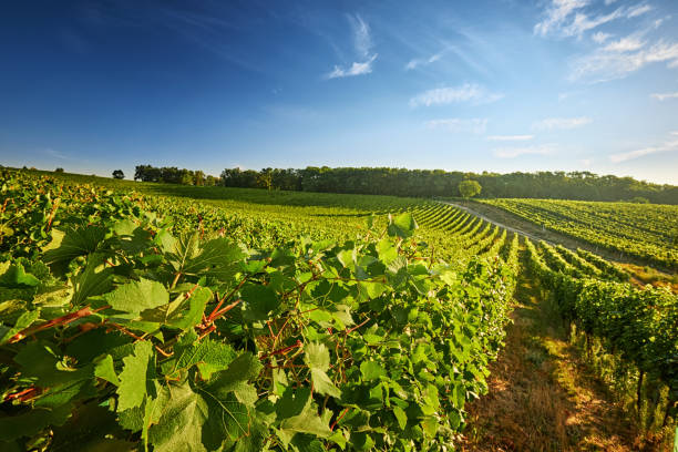 Vineyard with rows of grapes and vines Vineyard in the South Moravian Region of the Czech Republic with rows of grapes and vines moravia stock pictures, royalty-free photos & images