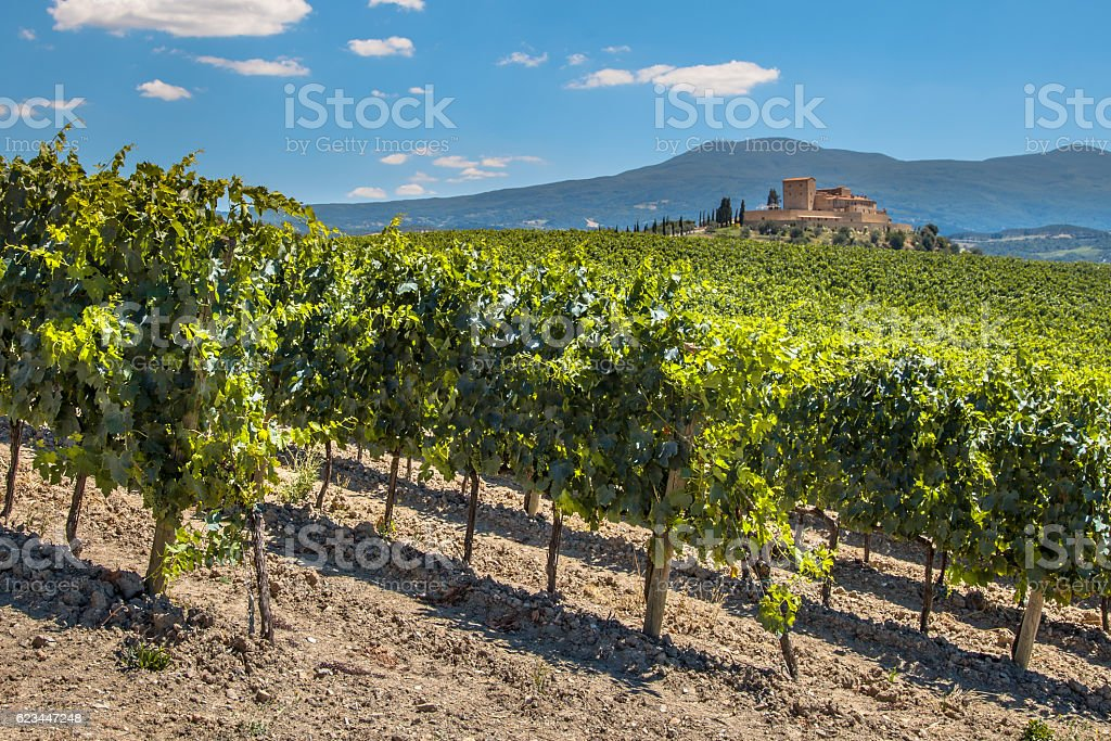 Vineyard with  Rows of grapevines stock photo