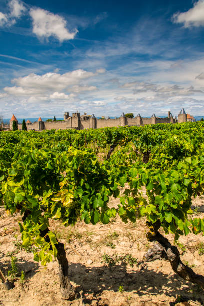 Vineyard with the medieval fortified citadel behind, Carcassonne, Languedoc-Roussillon, France stock photo