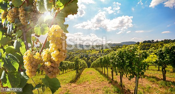 Vineyard with white wine grapes in late summer before harvest near a winery